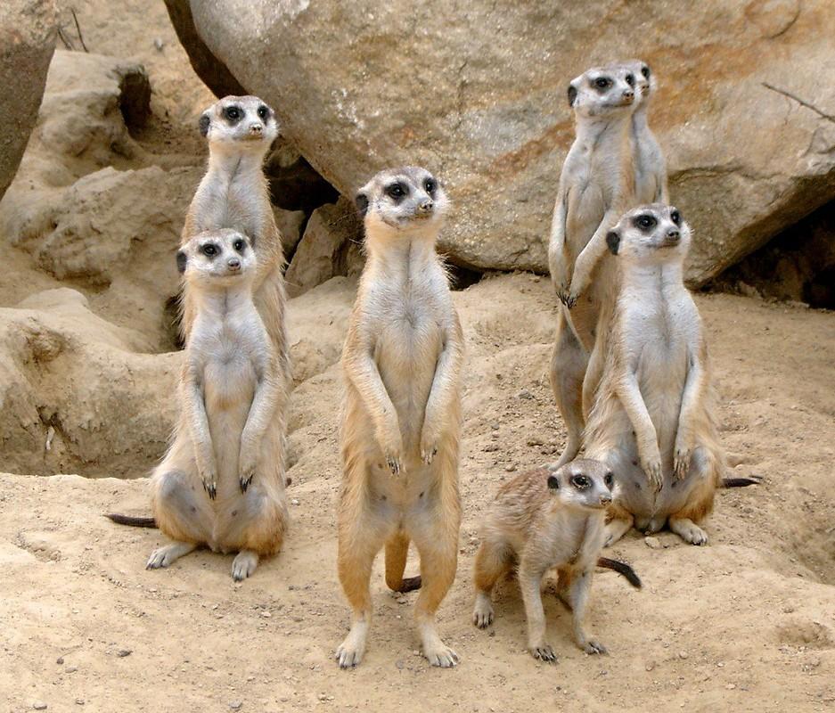 meerkat-363051_1280